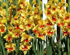 (10) Perennials Gladioli Bulbs Yellow & Red Jester Flower Gladiolus, Just Plant