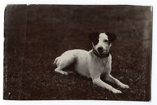 Photographie portrait de Chien Terrier Jack Russell?  ? 1910 photo dog