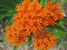 ORANGE BUTTERFLY MILKWEED Asclepias Flower Seeds  (15 seeds) F-112