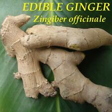 LIVE 10 Rhizomes EDIBLE GINGER ROOT Zingiber HOT & SPICY Zingiber officinale