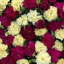 30+ FIZZ BANANABERRY CARNATION FLOWER SEEDS / DIANTHUS / PERENNIAL / FRAGRANT