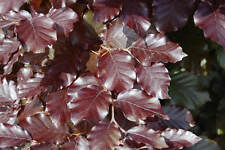 15 x  Copper Purple Beech  - Better than bare root -  2yr Old Plants - 30-40cm