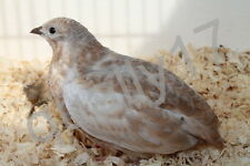 60 Chinese painted quail eggs 100% new American bloodline
