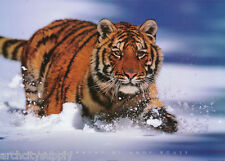 POSTER :ANIMAL: TIGER IN SNOW    -FREE SHIPPING ! #PP0103  LW25 N