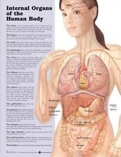 INTERNAL ORGANS POSTER (66x51cm) ANATOMICAL CHART HUMAN BODY MEDICAL DOCTOR