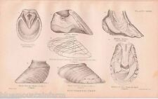 Antique Veterinary Equine Anatomy Book Plate Print Farrier Horse Hoof Shoe Gift