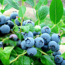 30Pc Sweet Blueberry Seeds Shortbush Fruit Vegetable Seeds Northblue Plant Bulbs