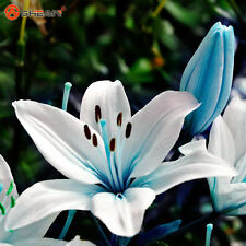 Blue heart Lily Seeds potted plants Seeds Lily flower for home garden, 50 PCs.