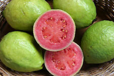 Guava, Psidium guajava, Tree Seeds (Edible Fruit, Fast Growing)