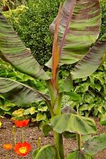 MUSA sikkimensis-red tiger Plante Banane - 10 x graines tropical