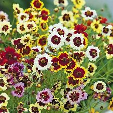 COREOPSIS TALL PLAINS * Coreopsis hybrida * INCREDIBLE! MIX * NEW COLORS SEEDS