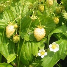 STRAWBERRY SEEDS - YELLOW WONDER - NON GMO - RARE & UNUSUAL FRUIT - 20 Seeds