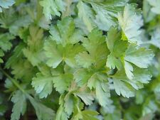 Flat Leaf Italian Parsley Culinary Medicinal Herb 1000  Seeds from 2016