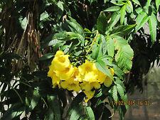 Gelber Trompetenstrauch      15 Samen +10 Samen Bonus