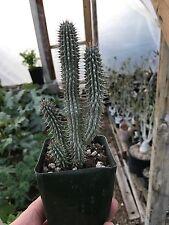 Hoodia Gordonii, Hoodia Plant, Succulent, Cactus
