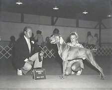 "Vintage Lot of 2 1970's Weimaraner Champion Show Dogs Black White Photo 8"" x 10"""