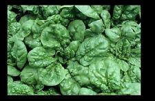 """6 LIVE 3-5"""" PLANTS Bloomsdale Longstanding Spinach Delicious Healthy Heirloom"""