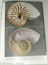 1949 magazine article about Sea Shells, info, color photos