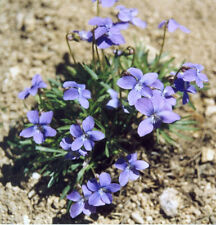 Viola pedatifida Purple Prairie Violet 15 seeds