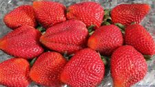 200 SEMI di FRAGOLA GIGANTE rara Fragaria ANANASSA enorme frutta biologica Heirloom UK