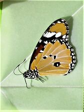 Lot of 20 African Monarch Butterfly Danaus chrysippus chrysippus Folded FAST