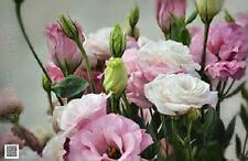 20+ LISIANTHUS PINK AND WHITE FLOWER SEEDS MIX /LONG LASTIN ANNUAL