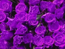 Dark Purple Rose Bush! 10 Seeds! COMBINED S/H! SEE OUR STORE FOR OTHER ROSES!