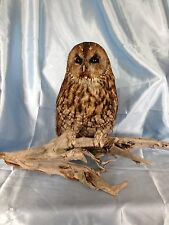 Taxidermy Tawny Owl - Strix aluco