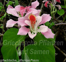 Bauhinia Orchid tree 5 Seeds VERY RARE unique Blüten PERENNIAL