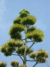 10 Agave americana Seeds Succulent Ornamental Large and Long Living Syrup Maker