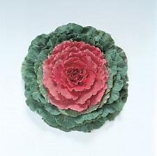 Flowering Cabbage Pigeon Series Red Annual Seeds