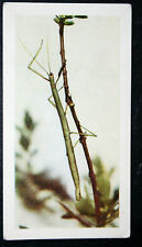 STICK INSECT     Vintage Colour Photo Card # VGC
