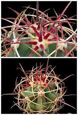 10 semi di Ferocactus diguetii ,piante grasse,seed cactus