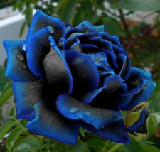 Flower seed - Midnight Blue rose seed