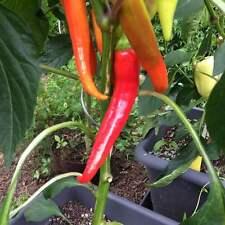 Yesil Tatli rote Paprika aus der Türkei süße türkische Spitzpaprika