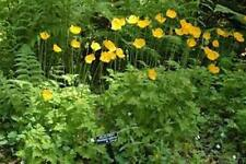 Meconopsis - Welsh Poppy  300+ seeds - Hardy Perennial