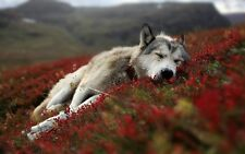 """Beautiful Wolf Pup sleeping in Red Flowers CANVAS PRINT  24""""X16"""" Poster"""