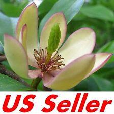 10 PCS  Michelia Figo BANANA SHRUB Seeds B5, EVERGREEN FRAGRANT Flowering Trees