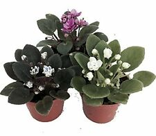 "Miniature African Violet - 3 Plants/2"" Pot - Great for Terrariums/Fairy Gardens"