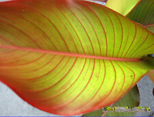 Rare Heliconia Red Leave Variegated Good Red Line on Leaf Beautiful+Free Phyto@@