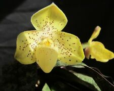 2 growths Paphiopedilum concolor  BLOOM SIZE