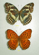 ARGYNNIS(Damora)SAGANA SAGANA male  CHINA