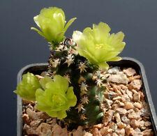 10 Echinocereus davisii SEMI SEEDS CACTUS MEXICO FIORI no stapelia ariocarpus