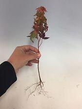 10 Japanese Maple Tree Seedlings For Bonsai, From Kaedebonsai-En!