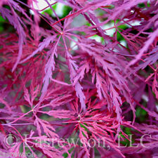 "25 Seeds !! ""Crimson Queen"" Japanese Maple Seed"