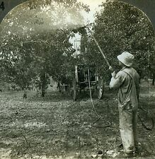 Stereoview Photo Summer Spraying in Apple Orchard Hilton NY Farming Agriculture
