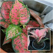 1 Aglaonema Plants Pink leaves, Chinese evergreens plant, King Of Foliage plants