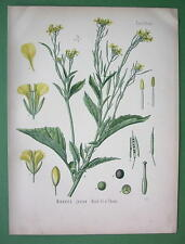 INDIAN MUSTARD Sinapis Juncea Medicinal Flower - Botanical COLOR Litho Print