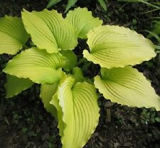 DANCING QUEEN  2 YEARS OLD HOSTA PLANT BUY ANY  5 GET ONE FREE
