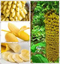 100+ Fresh Musa Acuminata edible Dwarf Banana tree plant seeds tropical fruit